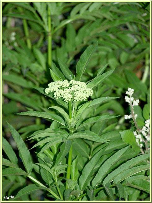 Arbuste à fleur blanche à Saint Rémy de Provence, Alpilles (13)