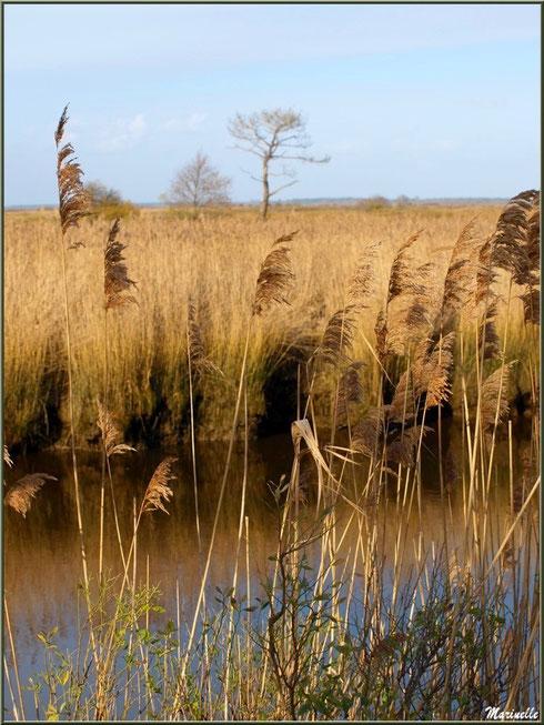 Roseaux et cotonniers en bordure de La Leyre, Sentier du Littoral, secteur Port du Teich en longeant La Leyre, Le Teich, Bassin d'Arcachon (33)