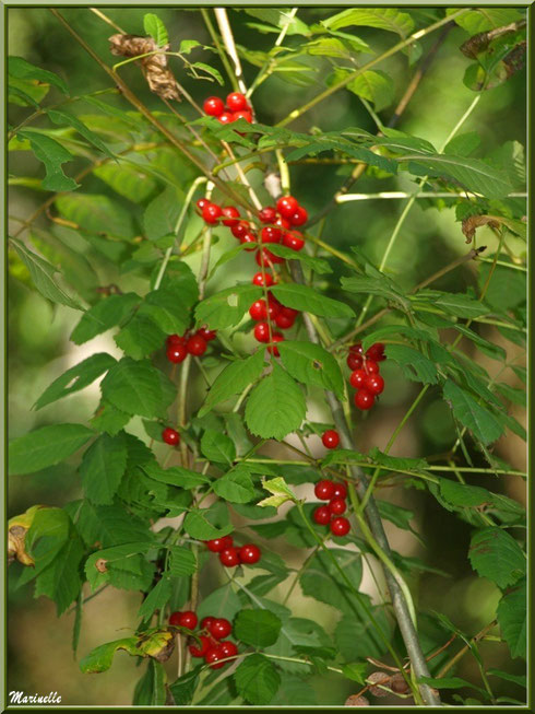 """Baies de tamier ou """"raspounchou"""" ou Herbe aux femmes battues enroulées sur une branche d'arbre, flore sur le Bassin d'Arcachon (33)"""