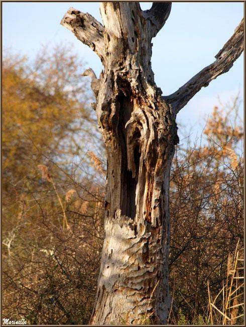 Tronc mort de chêne au coeur de la végétation, Sentier du Littoral, secteur Port du Teich en longeant La Leyre, Le Teich, Bassin d'Arcachon (33)