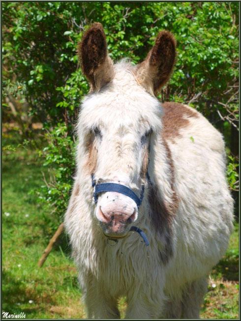 Ane Bicolore à la Pisciculture des Sources à Laruns, Vallée d'Ossau (64)