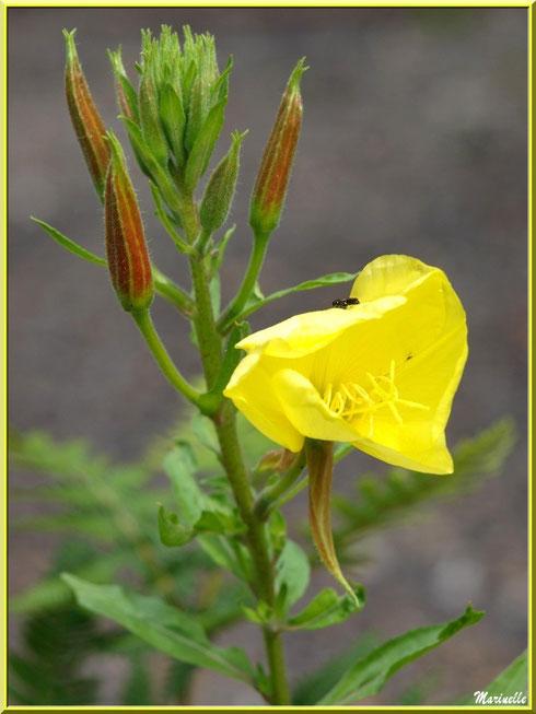 Herbe aux ânes ou Onagre ou Jambon des jardiniers, flore sur le Bassin d'Arcachon (33)