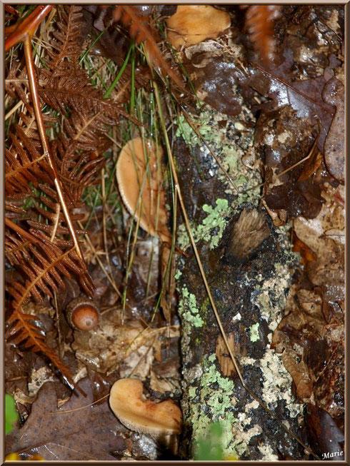 Lactaires à Lait Abondant, après ondée, en forêt sur le Bassin d'Arcachon