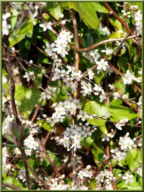 Méli-mélo entre arbrisseau en fleurs printanières et lierre en bordure du sentier forestier, Sentier du Littoral secteur Pont Neuf, Le Teich, Bassin d'Arcachon (33)