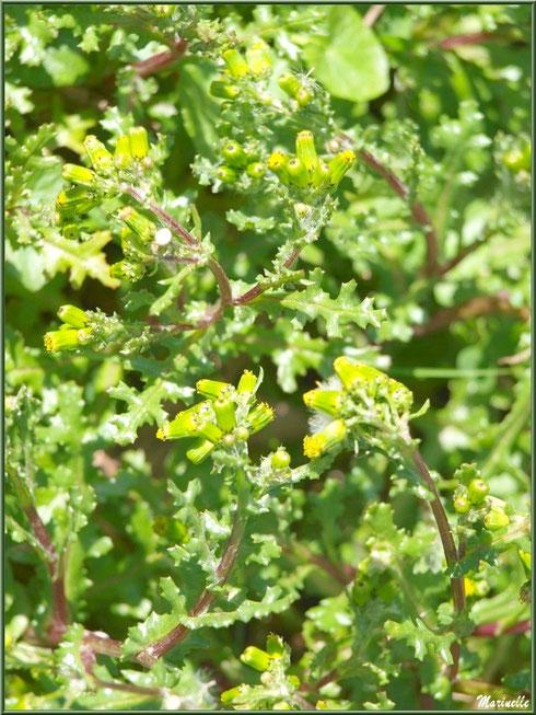 Séneçon Commun, flore sur le Bassin d'Arcachon (33)