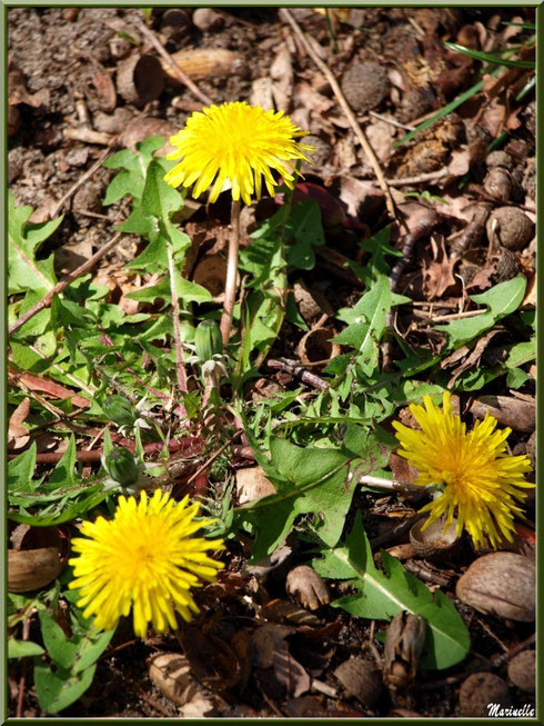 Pissenlit printanier en fleur au Parc de la Chêneraie à Gujan-Mestras (Bassin d'Arcachon)