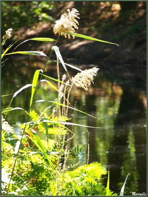 Roseaux et fougères en bordure du Canal des Landes au Parc de la Chêneraie à Gujan-Mestras (Bassin d'Arcachon)