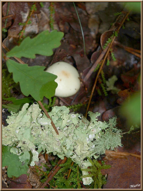 Petite Amanite cachée en forêt sur le Bassin d'Arcachon