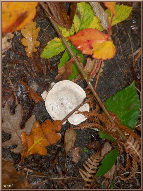 Clitocybe Blanc ou des Résineux en forêt sur le Bassin d'Arcachon