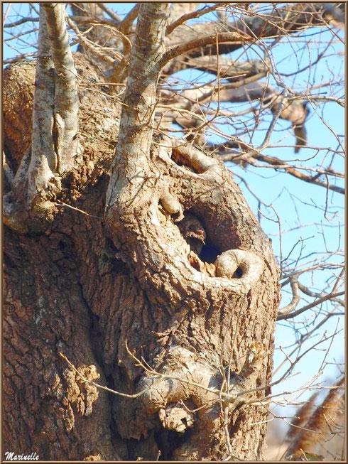 Vieux chêne noueux en bordure du Sentier du Littoral, secteur Domaine de Certes et Graveyron, Bassin d'Arcachon (33)