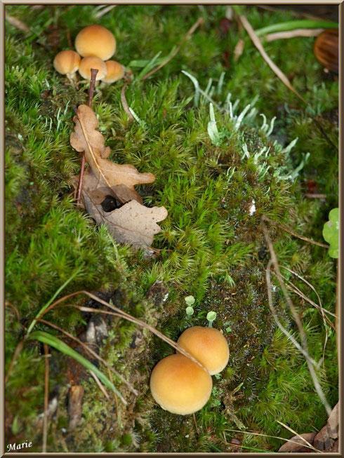 Hypholomes en Touffe éparpillés sur lit moussu en forêt sur le Bassin d'Arcachon