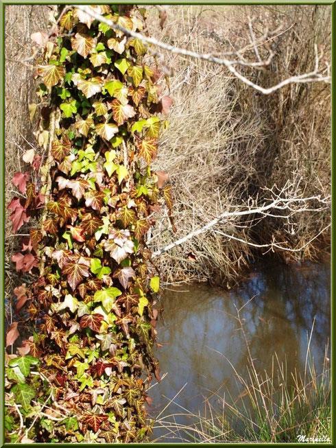 Lierre sur tronc en bordure du ruisseau, Sentier du Littoral secteur Pont Neuf, Le Teich, Bassin d'Arcachon (33)
