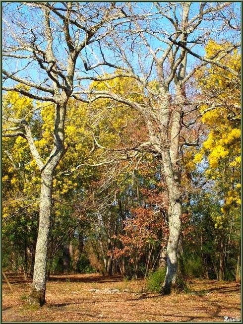 Aux premiers jours de mars, les mimosas en fin de floraison parmi les chênes encore en tenue hivernale au Parc de la Chêneraie à Gujan-Mestras (Bassin d'Arcachon)