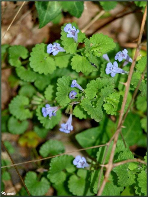 Calament, flore sur le Bassin d'Arcachon (33)