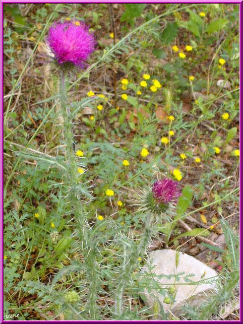 Chardons et fleurettes dans la garrigue au Moulin de Daudet à Fontvielle dans les Alpilles, Bouches du Rhône