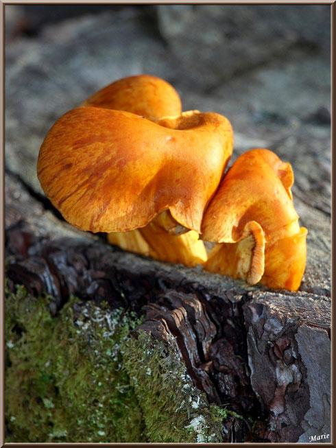 Gymnopile Remarquable ou Pholiote Remarquable en forêt sur le Bassin d'Arcachon