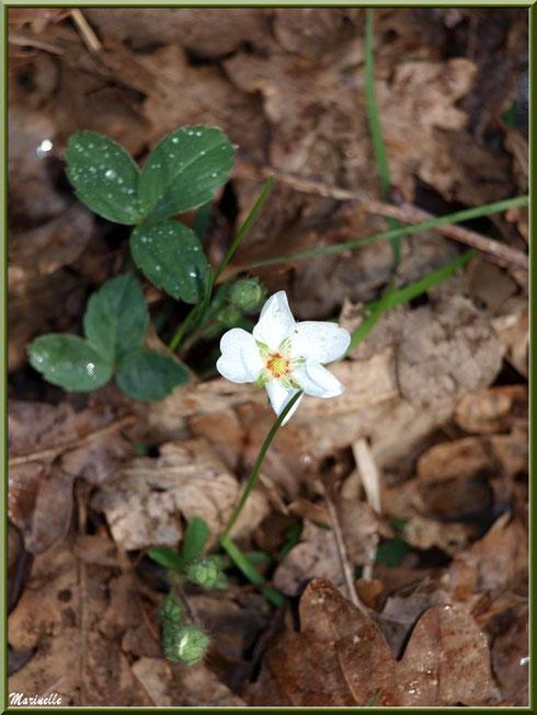 Fraisier des Bois après ondée, flore sur le Bassin d'Arcachon (33)