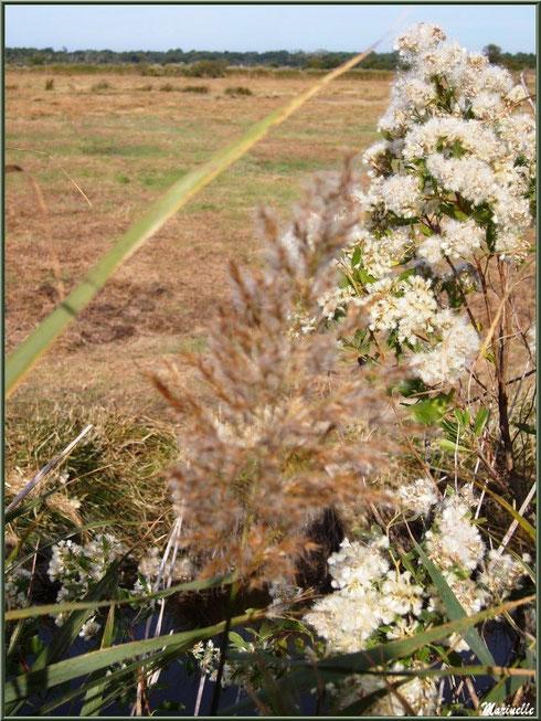 Roseau et cotonnier en fleurs en bordure d'un pâturage des prés salés, Sentier du Littoral secteur Pont Neuf, Le Teich, Bassin d'Arcachon (33)