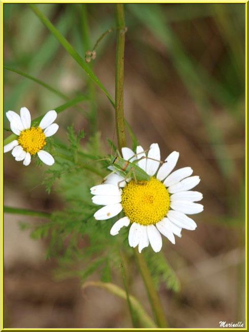Marguerites et sauterelle dans la campagne du Lubéron (84)