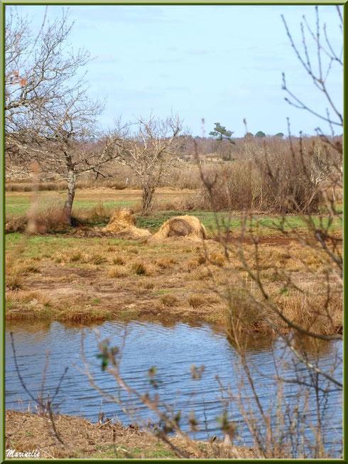 Ruisseau et pâturages, Sentier du Littoral secteur Pont Neuf, Le Teich, Bassin d'Arcachon (33)