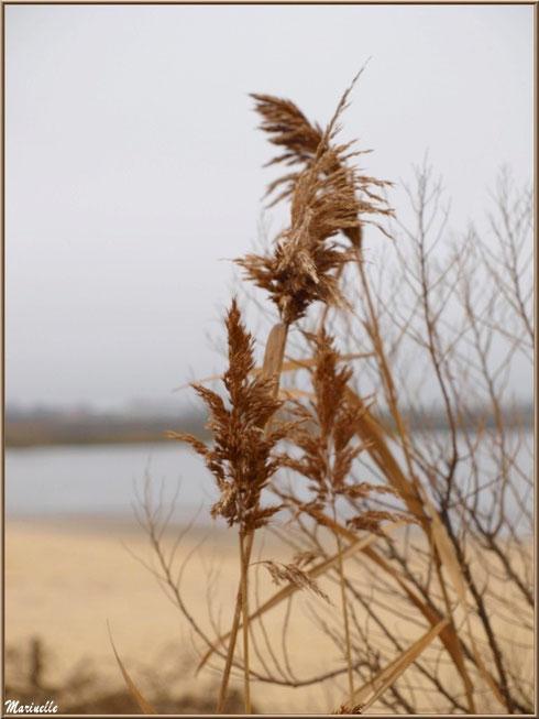Roseaux dans la brume hivernale, en bordure de plage côté Bassin, sur le Sentier du Littoral, secteur Moulin de Cantarrane, Bassin d'Arcachon