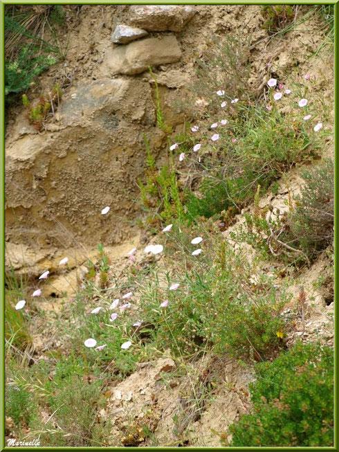 Liserons en fleurs et végétation en bordure de la route montant vers le village d'Oppède-le-Vieux, Lubéron (84)