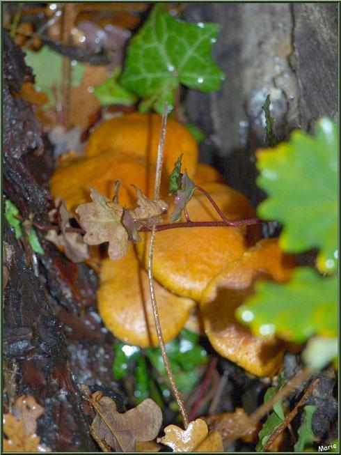 Gymnopiles Remarquables ou Pholiotes Remarquables cachés en forêt sur le Bassin d'Arcachon