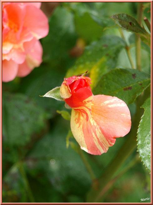 Rose saumonée en bouton à Saint Rémy de Provence, Alpilles (13) à Saint Rémy de Provence, Alpilles (13)