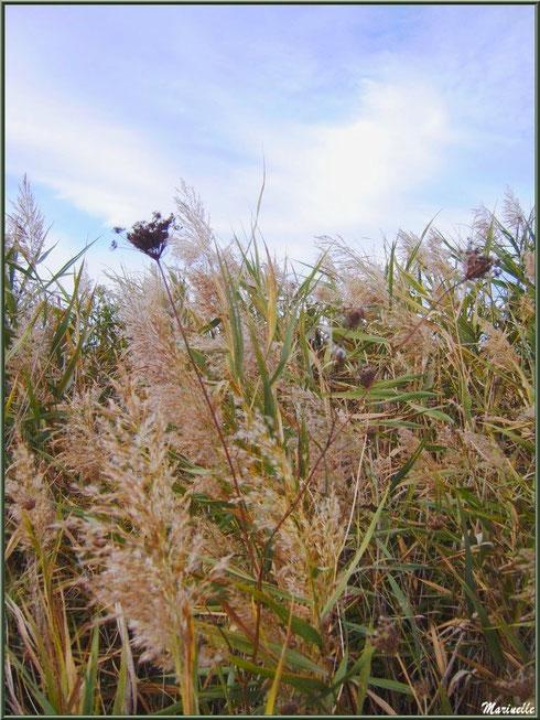 Roseaux et herbacées hivernales en bordure des prés salés, Sentier du Littoral secteur Pont Neuf, Le Teich, Bassin d'Arcachon (33)