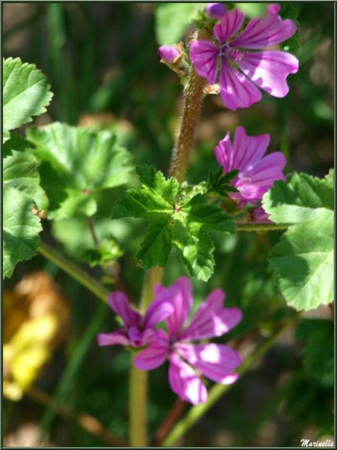 Mauve Sylvestre ou Mauve des Bois ou Grande Mauve, flore sur le Bassin d'Arcachon (33)