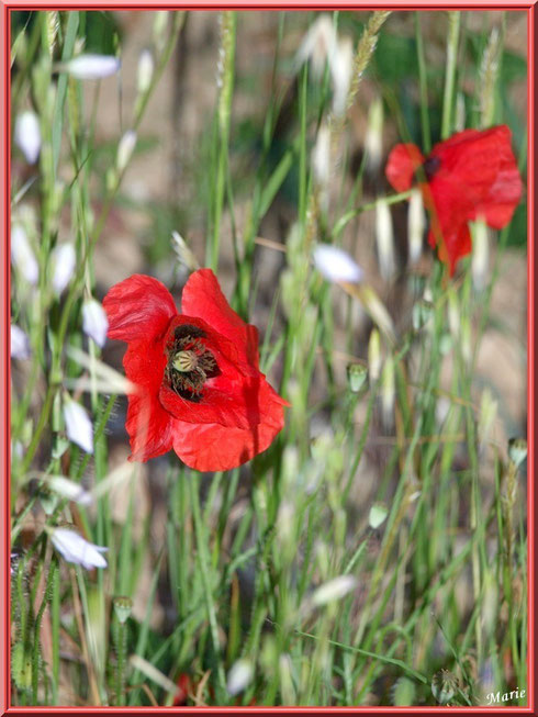 Coquelicots et fleurettes en campagne à Saint Rémy de Provence, Alpilles (13)