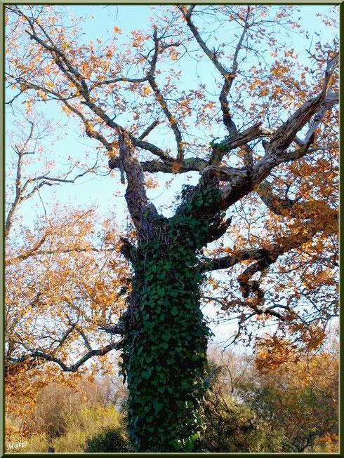 Vieux chêne au tronc couvert de lierre en bordure du Sentier du Littoral, secteur Moulin de Cantarrane, Bassin d'Arcachon