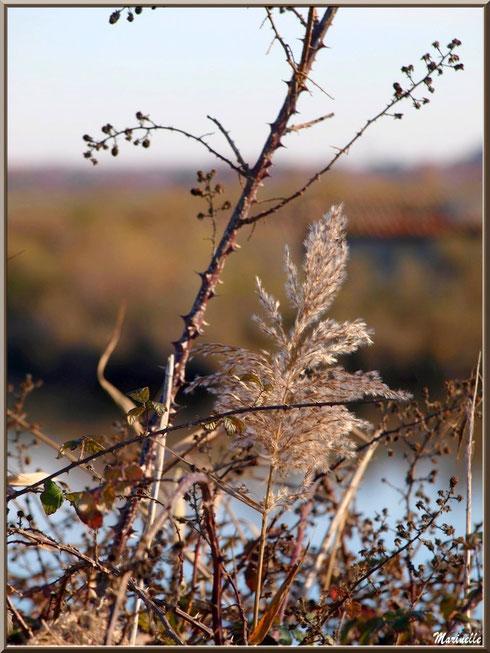 Roseau et roncier avec mûres hivernales asséchées en bordure d'un réservoir, Sentier du Littoral, secteur Moulin de Cantarrane, Bassin d'Arcachon