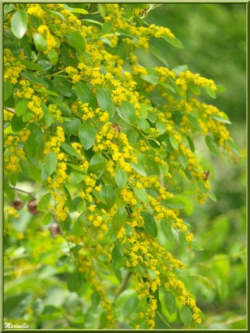 Arbre à petites fleurs jaunes à la montée du village d'Oppède-le-Vieux, Lubéron (84)