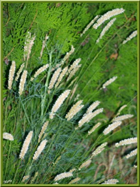 Herbacées en touffe à Saint Rémy de Provence, Alpilles (13)