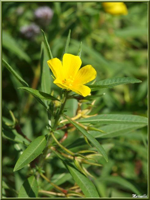 Jussie ou Ludwigia, flore sur le Bassin d'Arcachon (33)