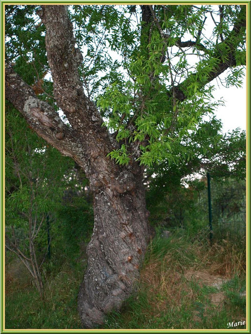 Vieil amandier au tronc noueux à Saint Rémy de Provence, Alpilles (13)