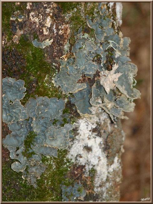 Parmelia Sulcata sur tronc moussu en forêt du Bassin d'Arcachon