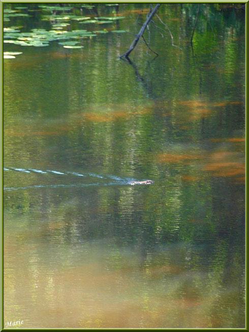 Petite loutre traversant le Canal des Landes au Parc de la Chêneraie à Gujan-Mestras (Bassin d'Arcachon)