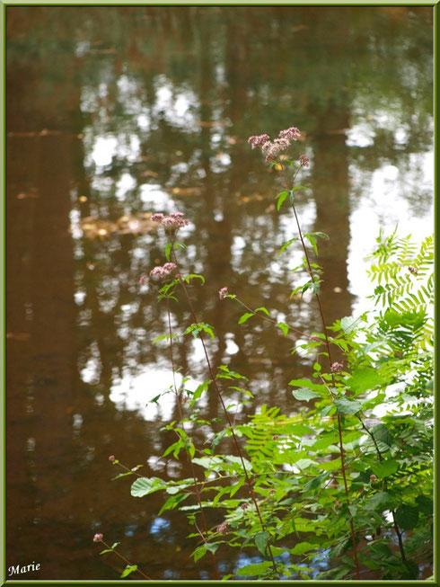 Eupatoires Chanvrines et fougères en bordure du Canal des Landes au Parc de la Chêneraie à Gujan-Mestras (Bassin d'Arcachon)