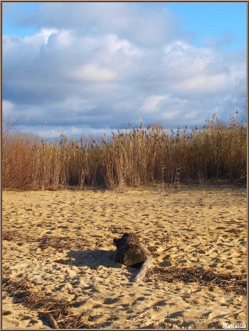 Bois flottés sur la plage hivernale et les roseaux pour fond de décor, Sentier du Littoral, secteur Moulin de Cantarrane, Bassin d'Arcachon
