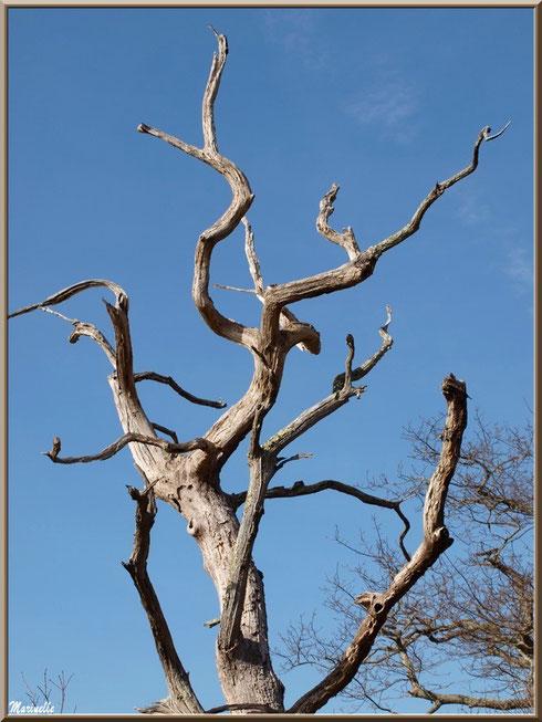 Chêne mort aux branches étirées vers le ciel, Sentier du Littoral secteur Pont Neuf, Le Teich, Bassin d'Arcachon (33)