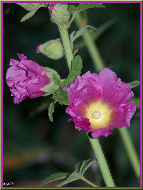 Roses Trémières à Saint Rémy de Provence, Alpilles (13)