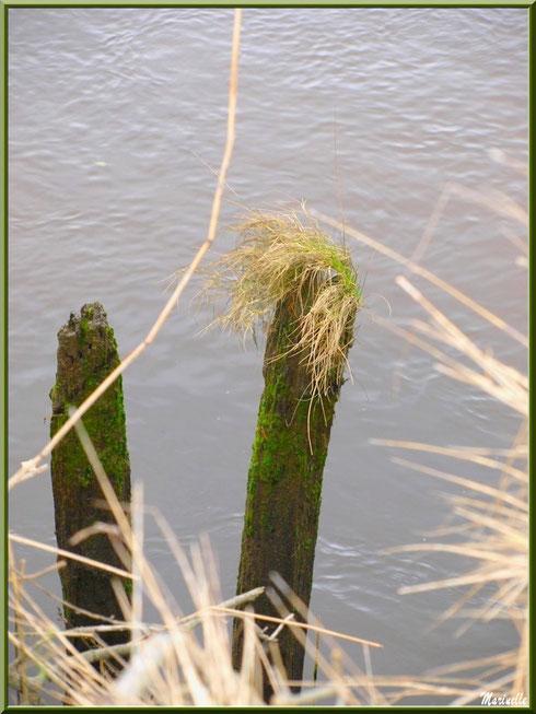 Piquets moussus et herbeux en bordure de La Leyre, Sentier du Littoral, secteur Port du Teich en longeant La Leyre, Le Teich, Bassin d'Arcachon (33)