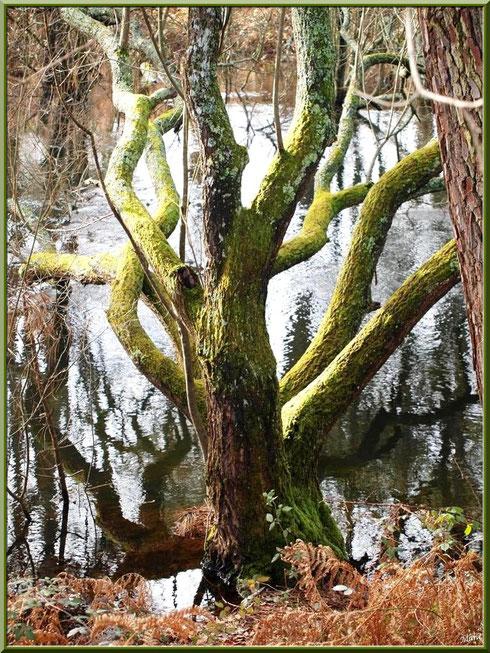 Chêne aux branches tentaculaires et reflets sur le Canal des Landes au Parc de la Chêneraie à Gujan-Mestras (Bassin d'Arcachon)