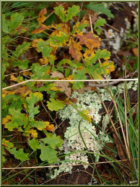 Lobaria Sublaevis parmi herbacées et feuilles de chêne automnales en forêt sur le Bassin d'Arcachon
