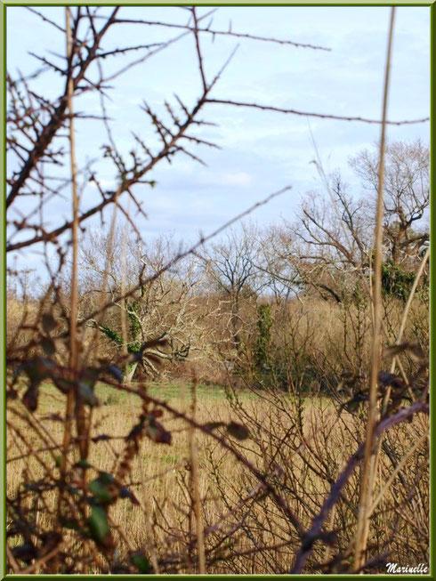 Végétation des prés salés en fin d'hiver, Sentier du Littoral secteur Pont Neuf, Le Teich, Bassin d'Arcachon (33)