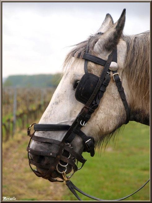 """Portrait d'un des chevaux de trait de """"Cheval des Vignes"""", dans un vignoble à St Sulpice de Faleyrens (33) en avril 2012"""