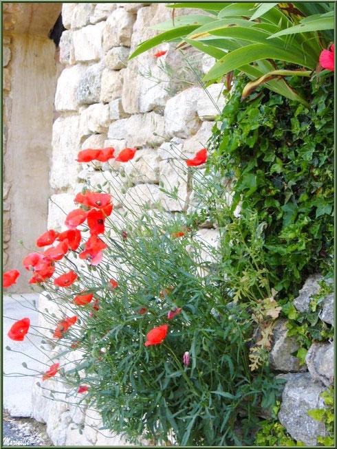 Coquelicots et verdure au creux d'un mur de pierres d'une maison dans le village de Le Beaucet, Lubéron (84)