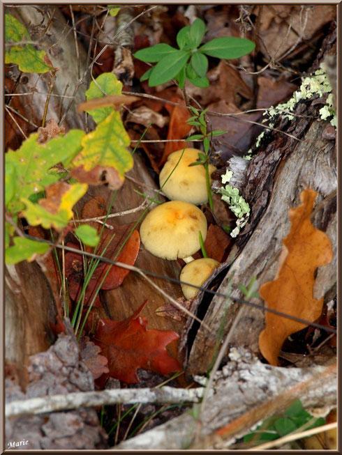 Hypholomes en Touffe au creux d'un décor automnal en forêt sur le Bassin d'Arcachon